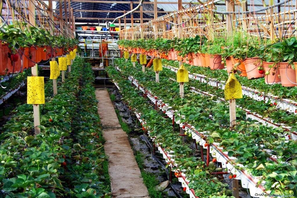 Выращиванье клубники в теплице 95