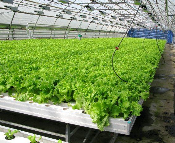 Выращивание базилика на гидропонике бизнес план 39