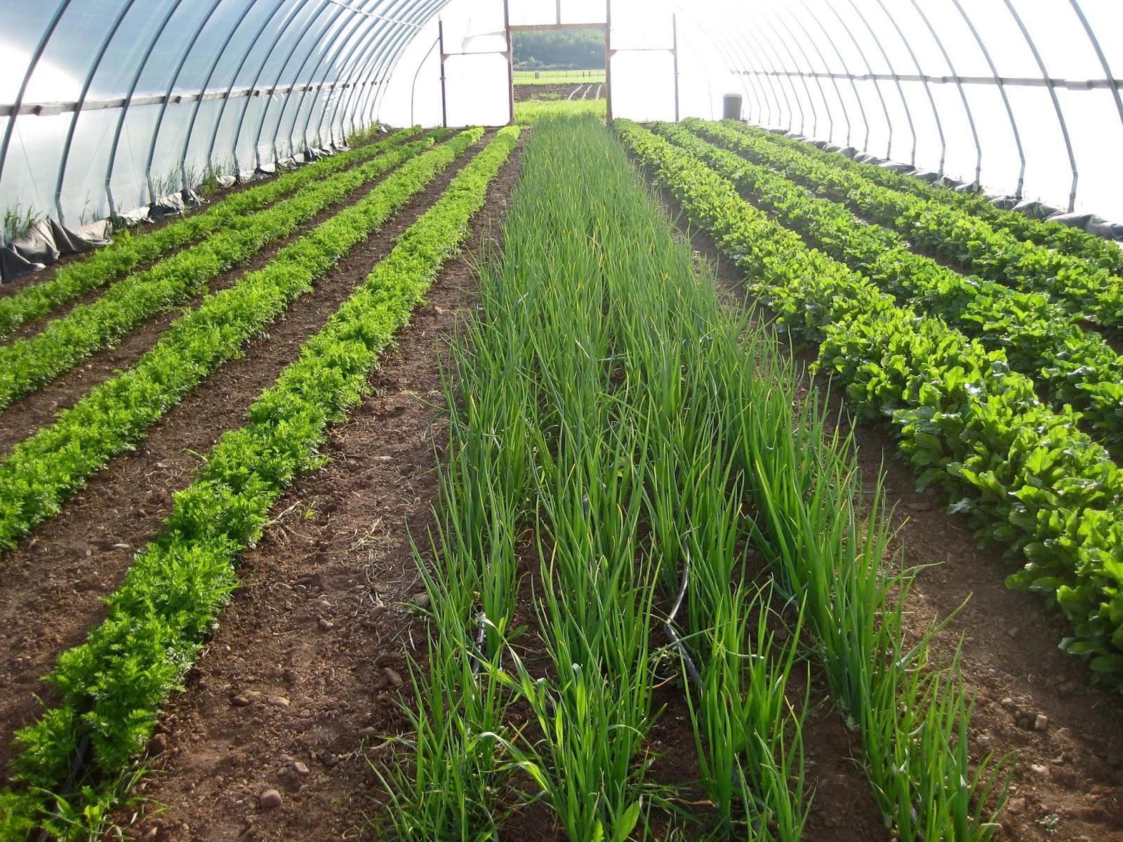 Выращивание в теплицах зелени 4
